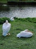 Dos pelícanos en la orilla del lago Fotografía de archivo
