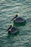Dos pelícanos en la playa de Nápoles foto de archivo libre de regalías
