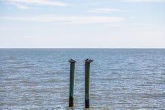 Dos pelícanos que descansan sobre postes Imagen de archivo libre de regalías