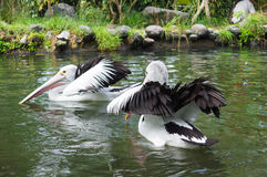 Dos pelícanos que flotan en el agua Imagenes de archivo