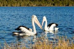 Dos pelícanos que nadan en el lago Imagen de archivo