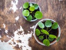 Dos peperomioides del pilea o Urticaceae jovenes de la planta de la crepe encendido imagen de archivo libre de regalías