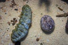 Dos pepinos de mar al fondo del tanque de agua imagenes de archivo
