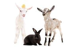 Dos pequeñas cabras y un conejo negro junto fotografía de archivo