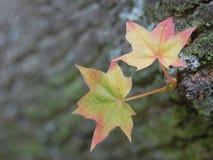 Dos pequeñas hojas amarillas y anaranjadas frescas en un árbol imagen de archivo