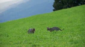 Dos pequeño Gray Cats Play juguetón y funcionamiento en una hierba verde en las montañas de Austria Cámara lenta metrajes