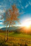 Dos pequeños árboles de abedul en sol del otoño Fotos de archivo libres de regalías
