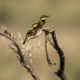 Dos pequeños abeja-comedores se encaramaron en una rama, Serengeti, Tanzania Imágenes de archivo libres de regalías