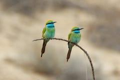 Dos pequeños Abeja-comedores verdes que se encaraman en el emirato de Sharja de los UAE Fotos de archivo libres de regalías