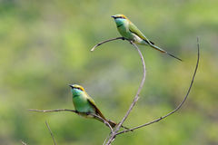 Dos pequeños Abeja-comedores verdes que se encaraman en el jardín en Goa varan, Foto de archivo