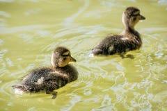 Dos pequeños anadones del pato silvestre en el agua imagen de archivo libre de regalías