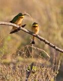 Dos pequeños Bee-eaters en el sol Fotos de archivo libres de regalías