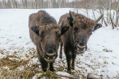 Dos pequeños bisontes europeos en parque nacional Imágenes de archivo libres de regalías