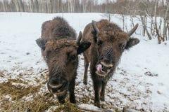 Dos pequeños bisontes europeos en parque nacional Fotos de archivo