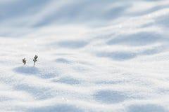 Dos pequeños brotes del pino en un campo del invierno Imágenes de archivo libres de regalías