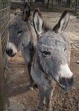 Dos pequeños burros Fotografía de archivo libre de regalías