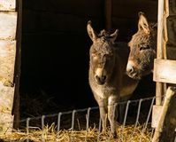 Dos pequeños burros gozan del primer sol de este año de su establo Imágenes de archivo libres de regalías