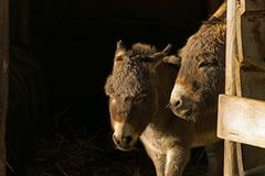 Dos pequeños burros gozan del primer sol de este año de su establo Imagenes de archivo