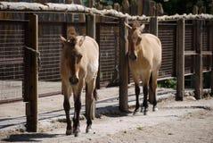 Dos pequeños burros tristes eran deprimidos de trabajo Uno de los animales más resistentes Foto de archivo
