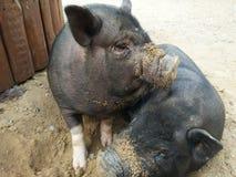 Dos pequeños cerdos negros Foto de archivo
