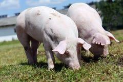 Dos pequeños cerdos que comen la hierba verde fresca en el prado Fotografía de archivo