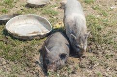 Dos pequeños cerdos se bañaron en el fango, una granja Imagen de archivo libre de regalías