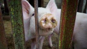 Dos pequeños cochinillos blancos en una pocilga, cochinillos detrás de una cerca de las barras de metal, granja de cerdo metrajes