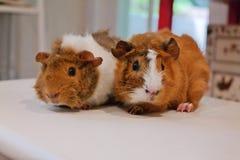 Dos pequeños conejillos de Indias lindos, haciendo frente a la cámara Fotos de archivo