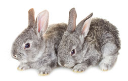 Dos pequeños conejos grises Imagen de archivo libre de regalías