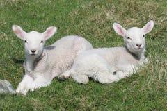 Dos pequeños corderos Foto de archivo