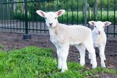 Dos pequeños corderos blancos que se colocan en hierba verde Fotografía de archivo