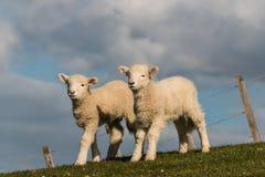 Dos pequeños corderos curiosos Foto de archivo libre de regalías