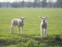 Dos pequeños corderos en el campo Fotografía de archivo libre de regalías