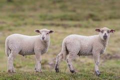 Dos pequeños corderos en el pasto Imagen de archivo