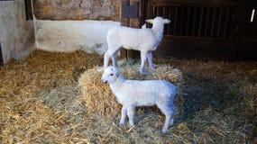 Dos pequeños corderos en establo Fotos de archivo libres de regalías