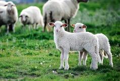 Dos pequeños corderos en una multitud Foto de archivo libre de regalías