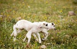 Dos pequeños corderos juguetones lindos en prado Imágenes de archivo libres de regalías