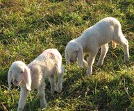 Dos pequeños corderos pastan en el prado Fotografía de archivo