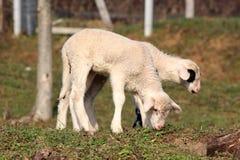 Dos pequeños corderos que colocan y que comen la hierba Foto de archivo libre de regalías