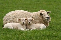 Dos pequeños corderos que le miran Foto de archivo