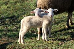 Dos pequeños corderos que presentan para la cámara Fotografía de archivo libre de regalías