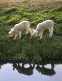 Dos pequeños corderos reflejados en el agua Fotografía de archivo