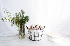 Dos pequeños dogos ingleses en cesta en el sitio blanco foto de archivo