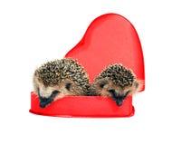 Dos pequeños erizos del bosque en una caja de regalo roja en corazón forman Fotografía de archivo libre de regalías