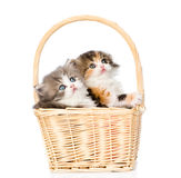 Dos pequeños gatitos escoceses que se sientan en cesta y que miran para arriba Aislado en blanco Imagen de archivo