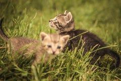 Dos pequeños gatos del bebé en la hierba Fotografía de archivo