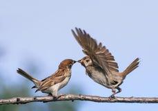 Dos pequeños gorriones divertidos de los pájaros en la primavera en el parque en un b Fotografía de archivo