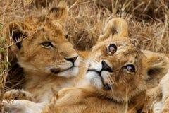 Dos pequeños leones Fotografía de archivo