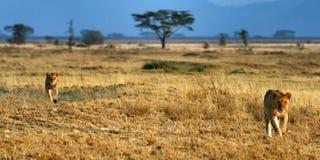 Dos pequeños leones Imagen de archivo