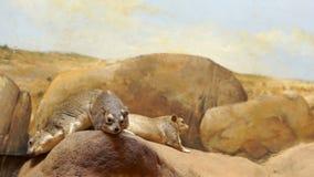 Dos pequeños mamíferos marrones almacen de metraje de vídeo